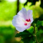 Rose of Sharon-01