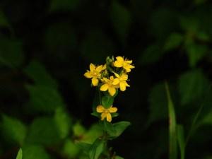 オトギリソウの花言葉