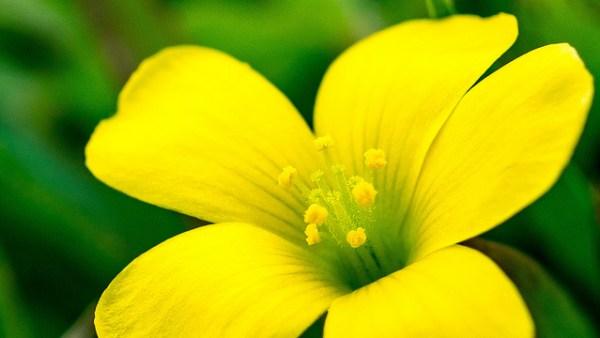 カタバミの花言葉