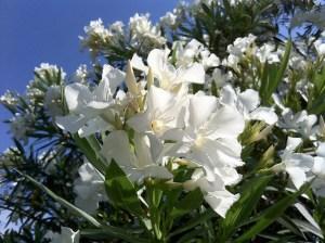 Oleander-02