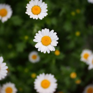 Mini marguerite-03