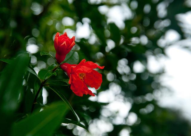 ザクロの花言葉(花と実の花言葉)英語