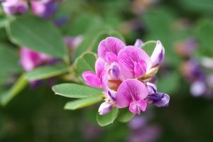 Bush clover-03