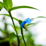 Dayflower-01