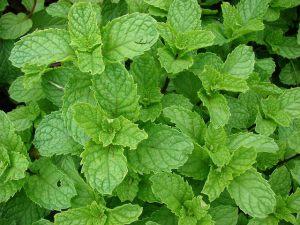 Mint-Spearmint