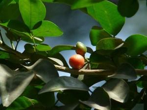 Orange jasmine-03