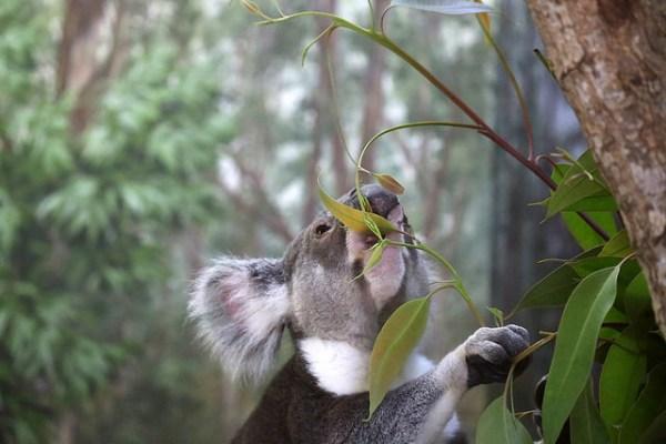 Eucalyptus-01