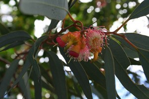 Eucalyptus-02