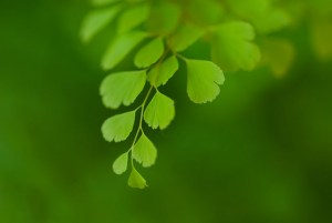 Maidenhair fern-03