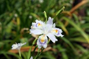 Fringed iris-01