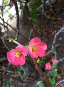 Japanese quince-03