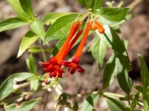 ブバルディアの花言葉