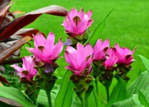 クルクマの花言葉