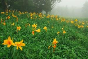 ニッコウキスゲの花言葉