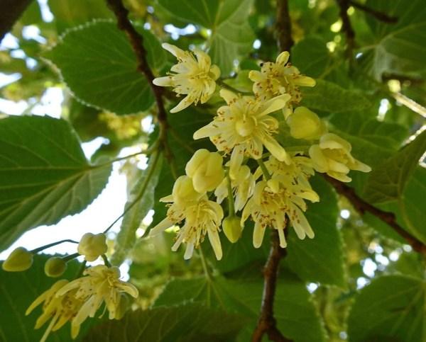 菩提樹の花言葉