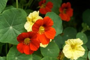 ナスタチウムの花言葉