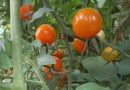 Gardening in Nevada class discusses choosing tomatoes