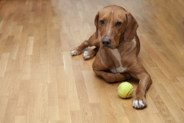 Dogs and Hardwood Floors  Reno Tahoe NV  Artisan