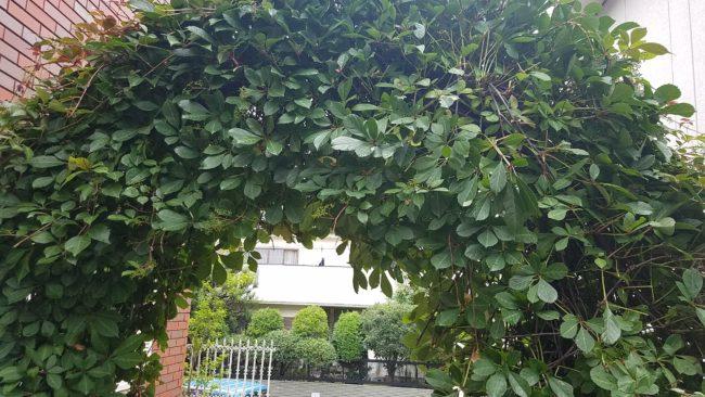 ヘンリーヅタでお庭のアーチ