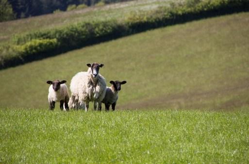 Somerset Sheep