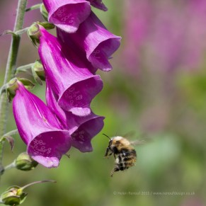 Bee on Foxgloves
