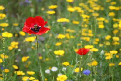 Poppies wide