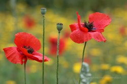 Close up on poppies