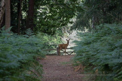 A roe deer by a forest gate