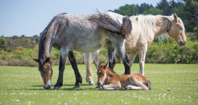 Forest Ponies and Foal