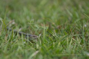 A real lizard - wide - the reason to carry your camera!