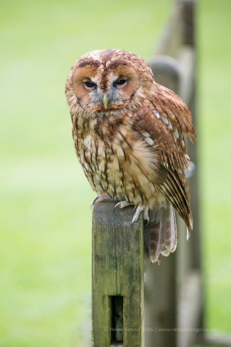 Tawny Owl photographed at Liberty's in the New Forest