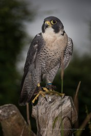 Libertys Falcons in the New Forest