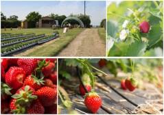 Strawberry Picking Fun