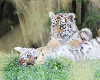 At the Zoo - tigers playing