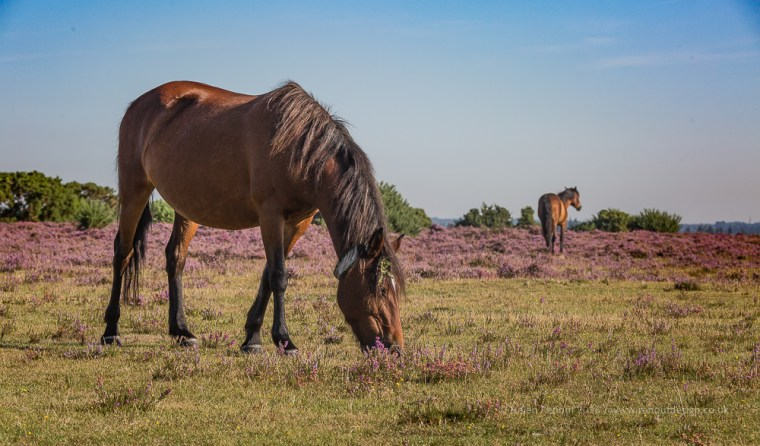 Views around Wilvery Plain captured in the New Forest, during August when the heather is full of colour