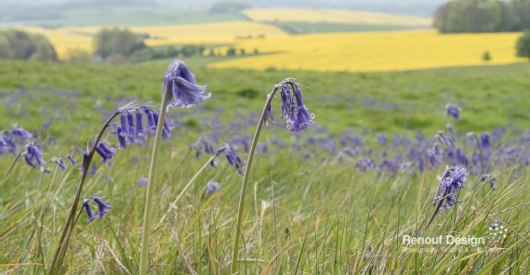 Bluebells in the landscape