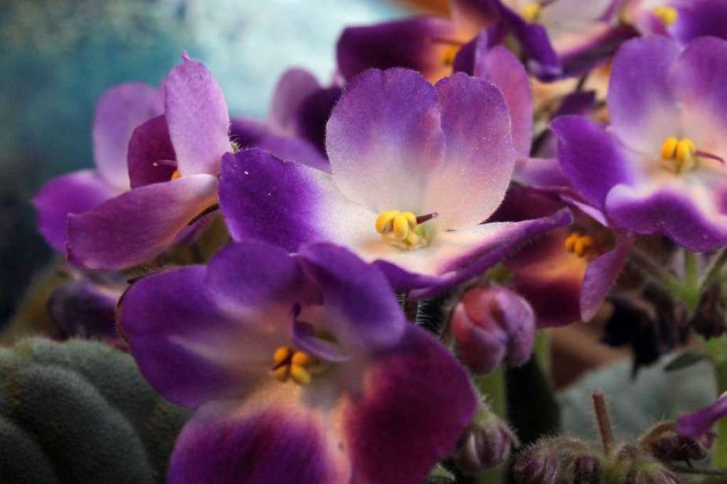 Future of African Violets - Cultivate the Interest of Younger Generations #africanviolets #renovatedfaith