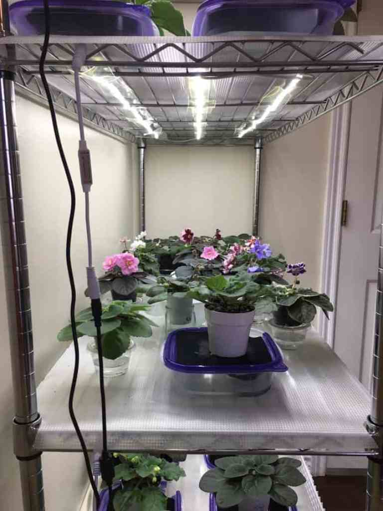 Led Lighting provides a low-cost and safer alternative to fluorescent lighting for growing African violets. Now dimmable, LED lights allow you to customize your lighting to your plants and grow space to get gorgeous blooms and foliage all year long! #africanviolets #avsa #led #renovatedfaith