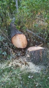 It was an impressive jackpine, relieved that its no longer leaning toward our new shingles...