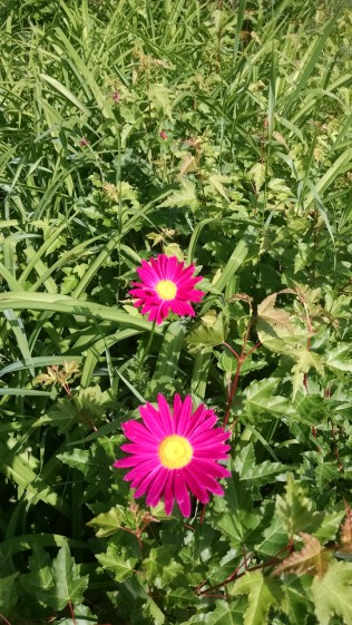 Pink corn flower minnesota