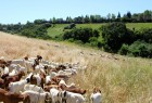 Goats clearing land near San Francisco