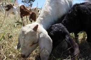 RentAGoat Goats Munching