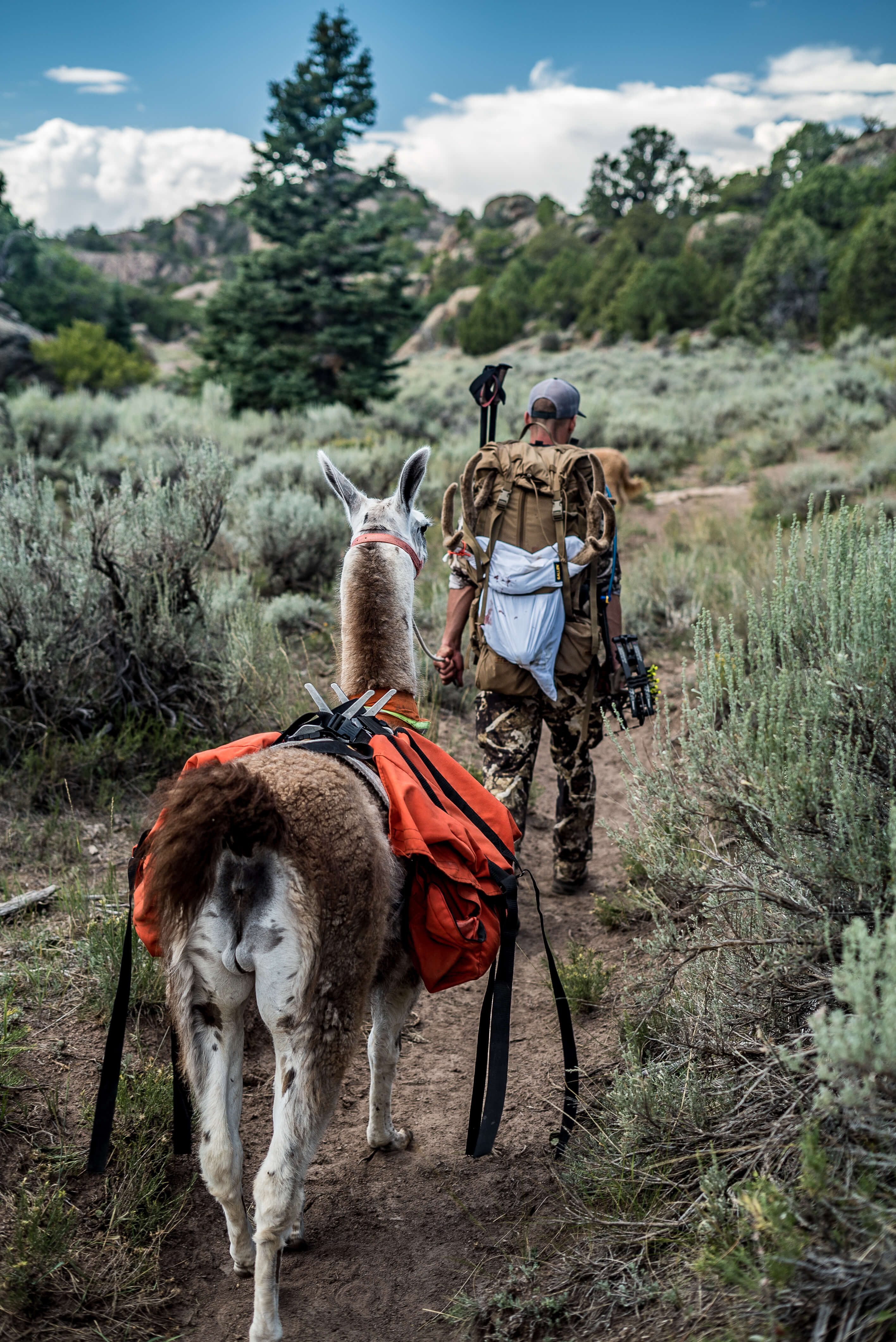 pack llama rentals backcountry archery mule deer hunting utah