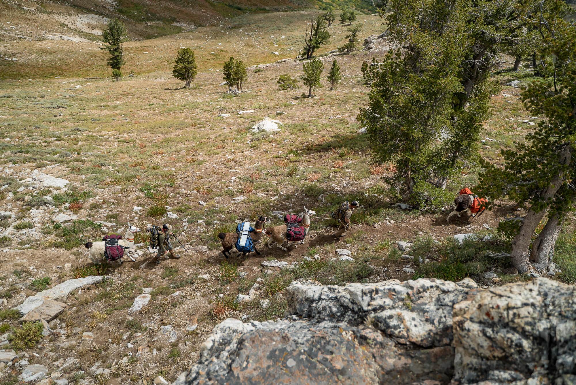 hiking northern nevada pack llamas ruby mountains