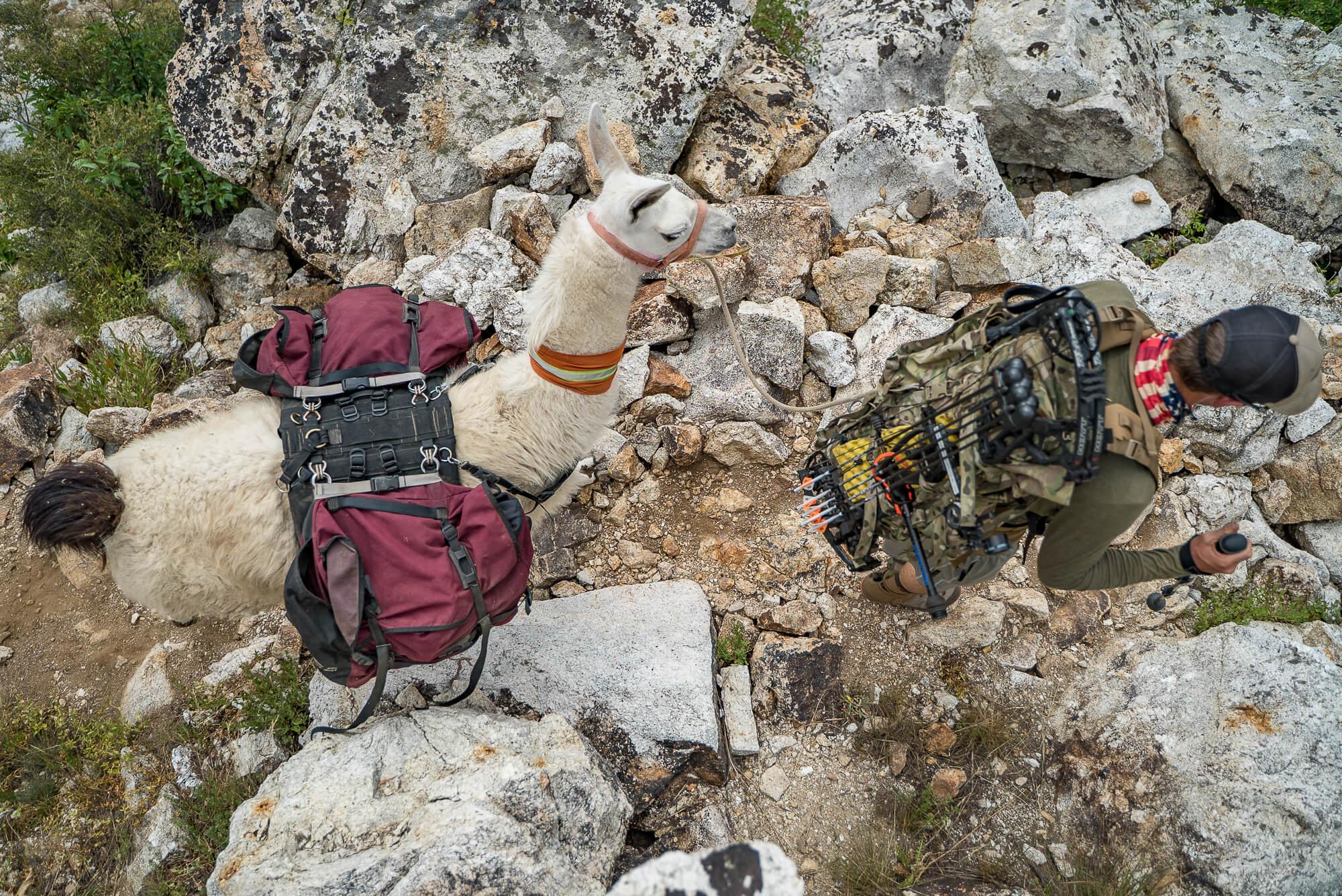 pack llamas bowhunting bow hunting ruby mountains nevada