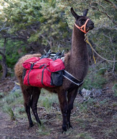 apollo ccara classic pack llama rentals nevada utah arizona colorado