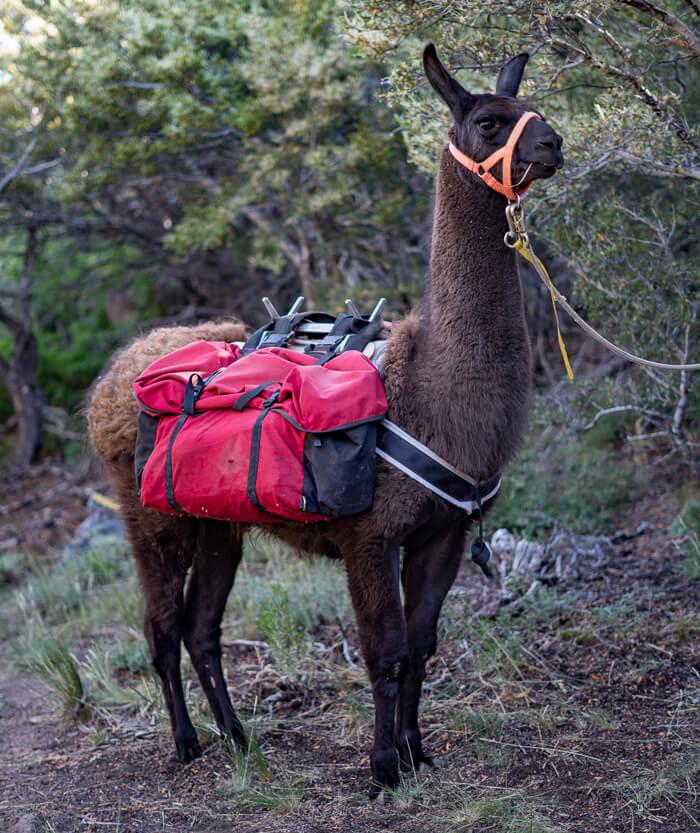 apollo ccara classic pack llama rentals nevada utah arizona colorado