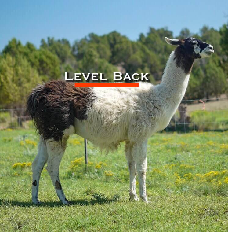 pack llama qualities buying a pack llama