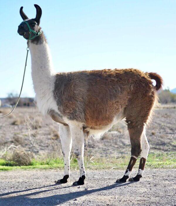 ccara female pack llamas for sale
