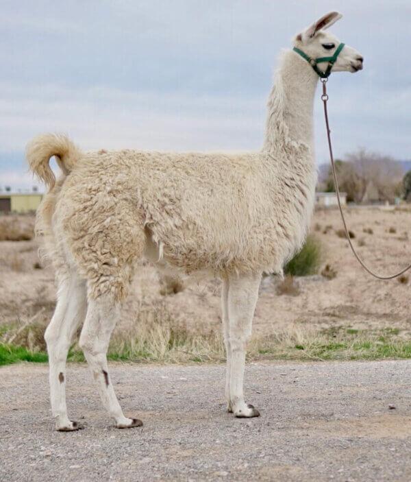 ccara female pack llama crias